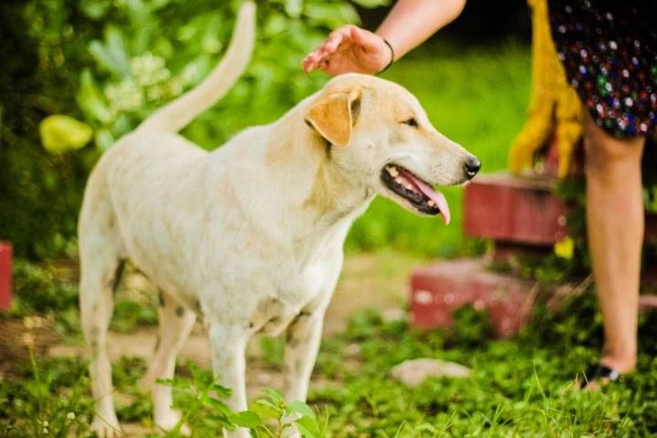 street dog thailand